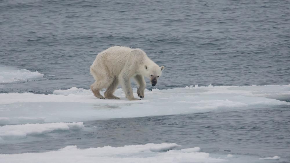 Endangered Arctic starving Polar Bear